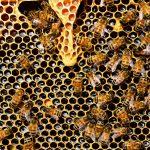 Qual a importância e consequências da extinção das abelhas?